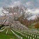 Cherry Tree in Arlington  by mikepaulhamus
