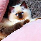 Molly, the ragdoll kitten.  by ronsphotos