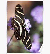 Zebra Longwings  Poster