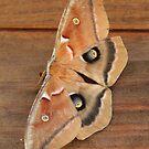 Moth by DebbieCHayes