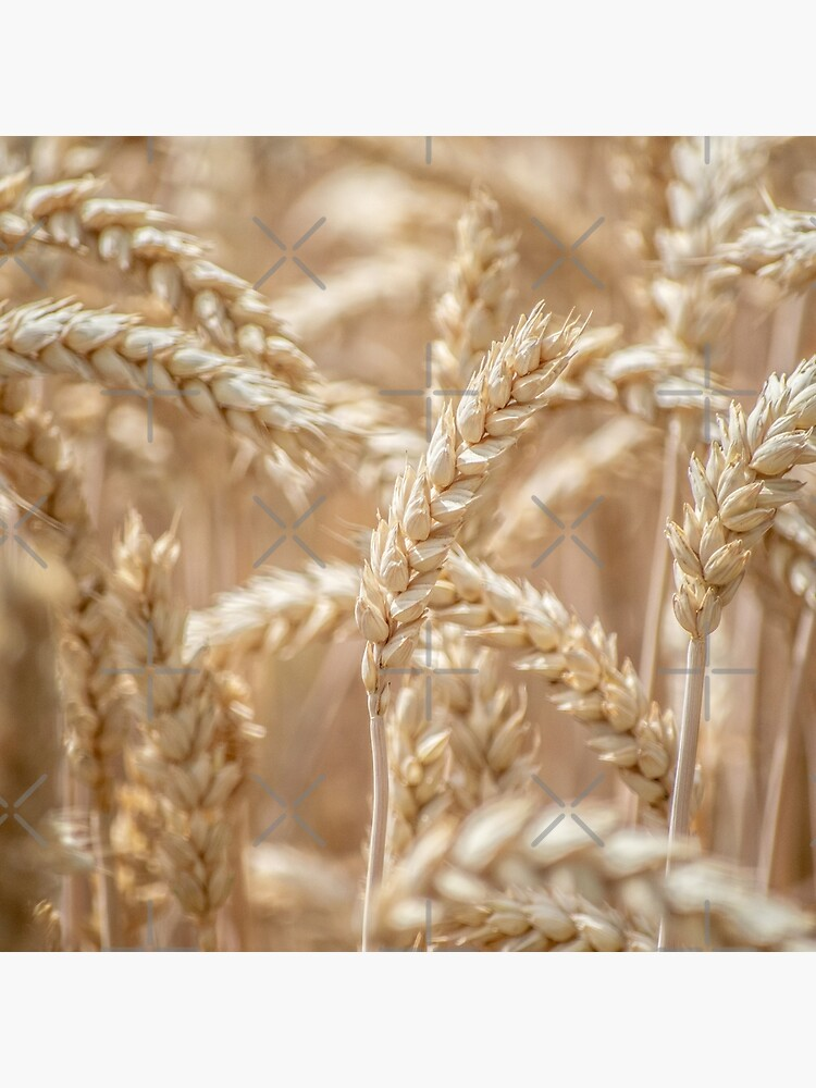 Golden wheat by cnadia