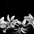 Spring Rue Anenome Flowers In A Line by Karen Kaleta