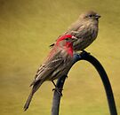Male and Female House Finch by Renee Blake