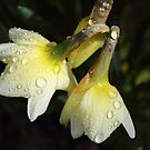 raindrops on daffodils - natures tears  by gaylene