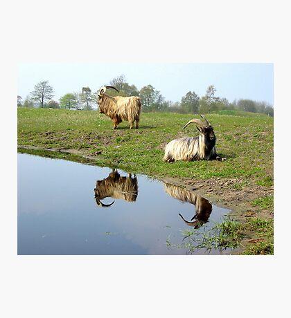 Beautiful Goats Photographic Print