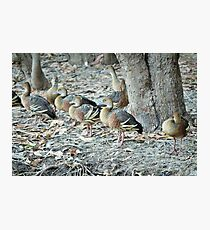 plumed whistling-ducks Photographic Print