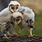 Baby Barn Owls by Sue Ratcliffe