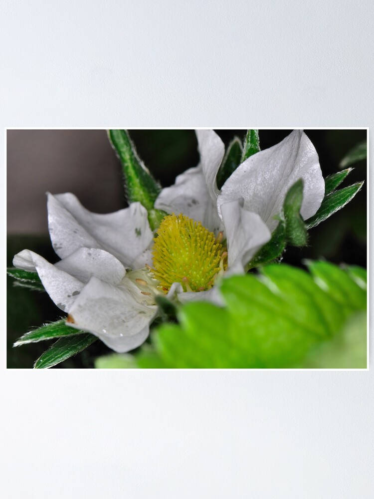 Alternate view of Strawberry Flower Poster