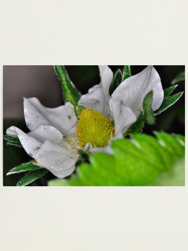 Alternate view of Strawberry Flower Photographic Print