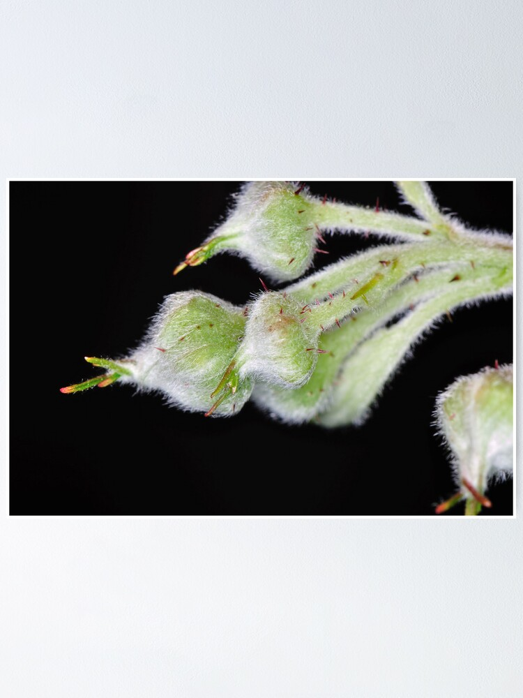 Alternate view of Raspberry Poster