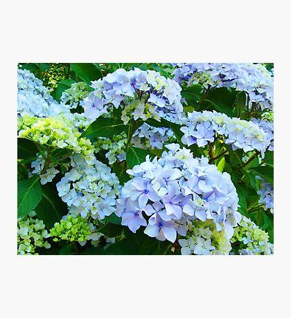 Blue Hydrangea Flowers Green Garden art Baslee Troutman Photographic Print