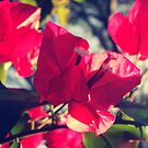 Bougainvillea in the sun by islefox