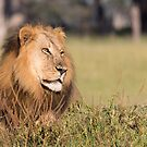 King of the pride by Will Hore-Lacy