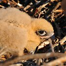 Brown Falcon Chicks In Nest by Wayne England
