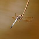 Dragon Fly by Wayne England