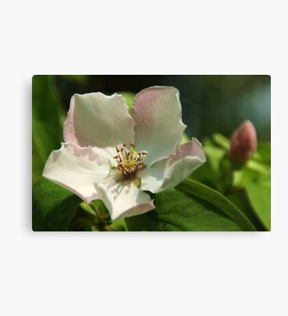 Quince Blossom Canvas Print