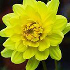 Yellow Dahlia by Ray Clarke