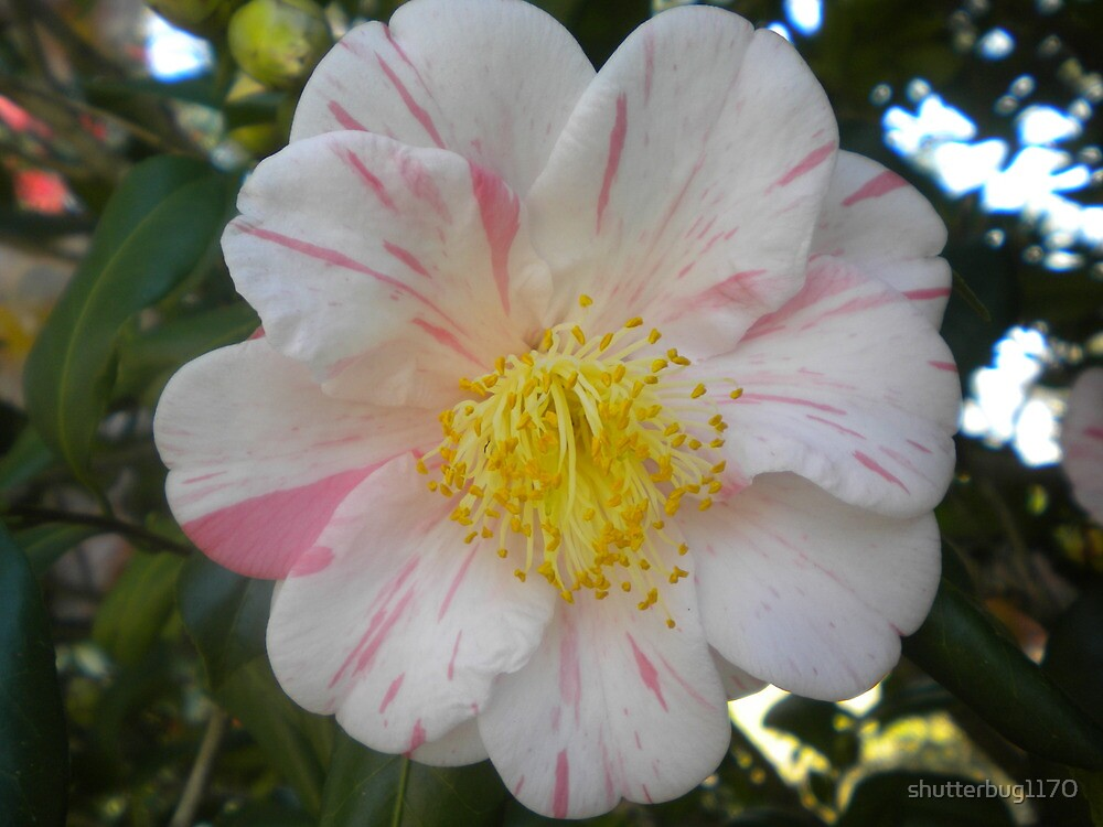 White and Pink Flower with Yellow Center\
