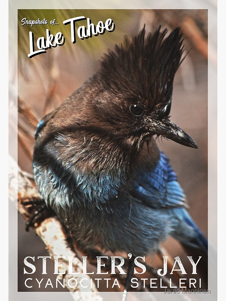 Snapshots of Tahoe: Steller's Jay by JaredManninen