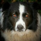 Ben the Border Collie by Rachael Taylor