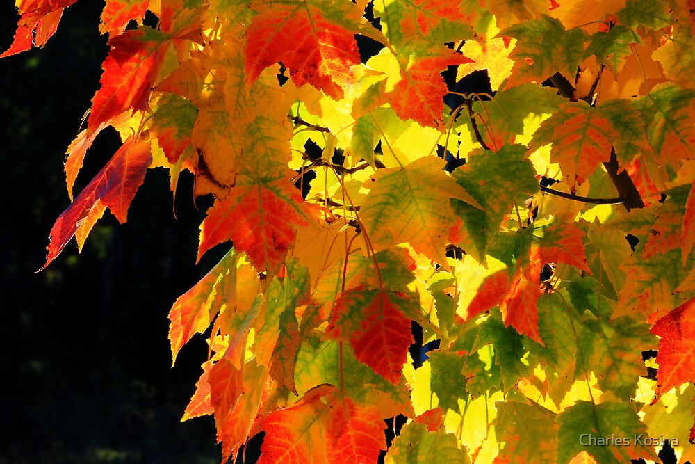 Backlit autumn leaves by Charles Kosina
