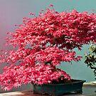Japanese maple by PhotosByHealy