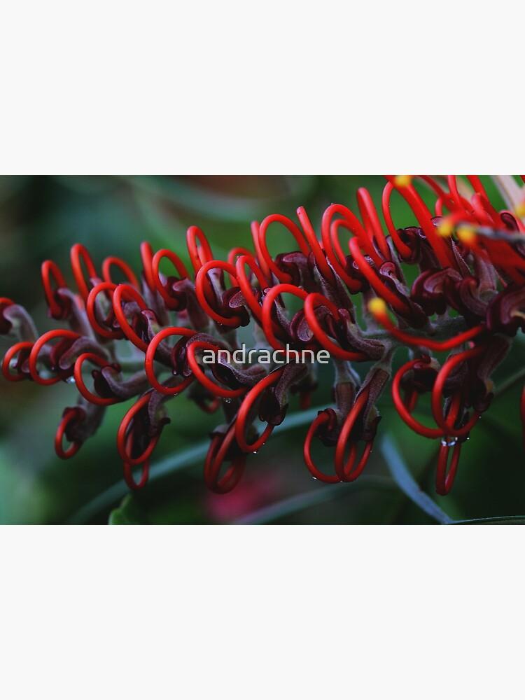 Grevillea blood orange by andrachne