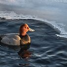 Red Head Duck in Icy Water at Harbourfront by Gerda Grice