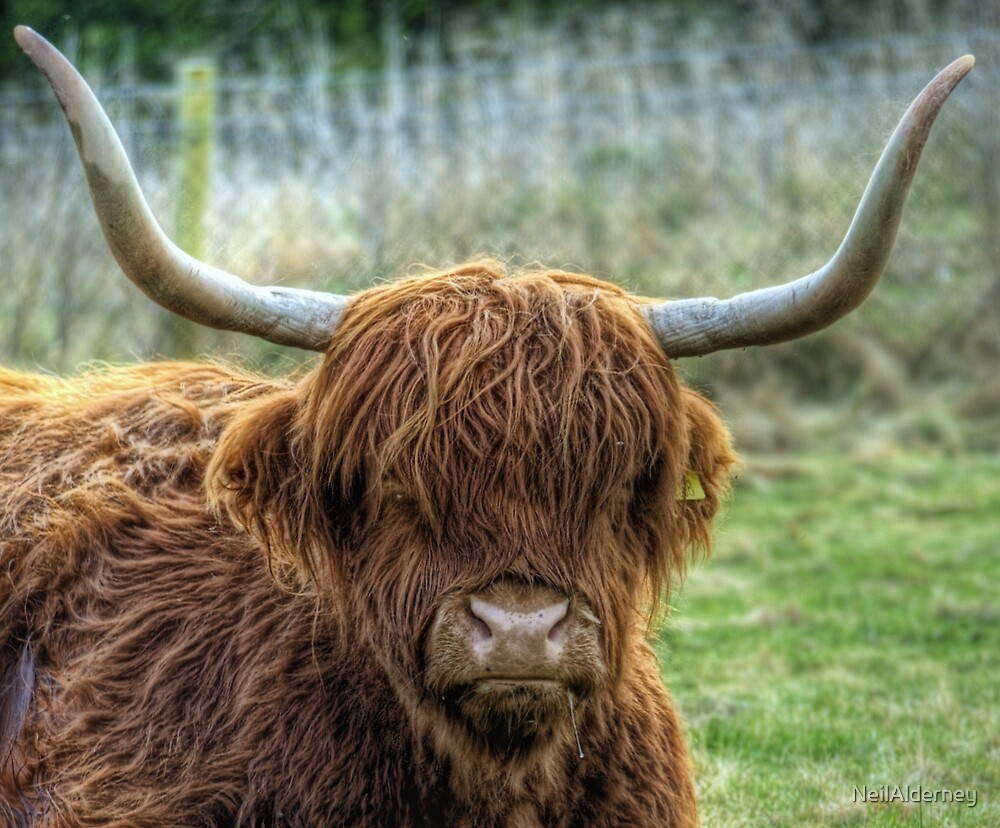 A Highland Coo! by NeilAlderney