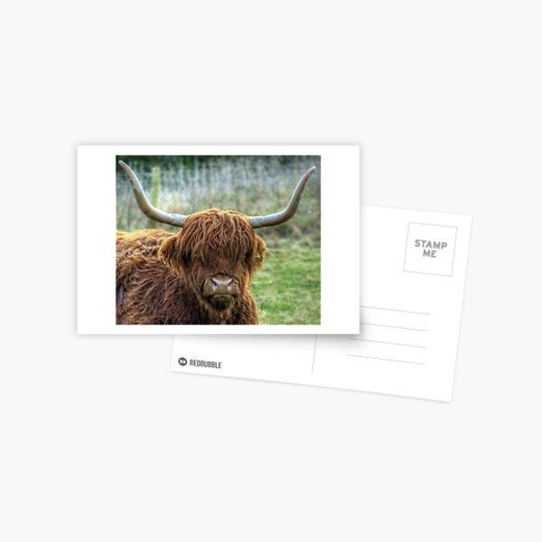 A Highland Coo! Postcard