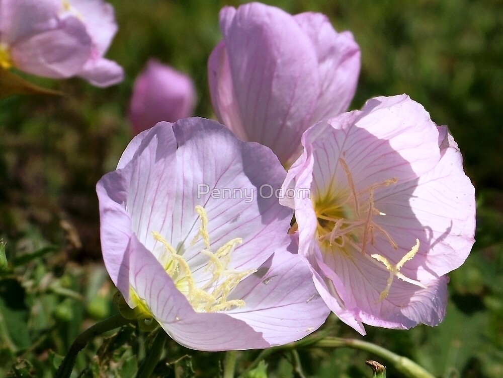 Wildflower ~Pink  Primrose by Penny Odom