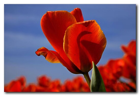 A tulip for a special friend by John44