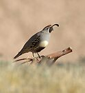 Quail rising by Anthony Brewer