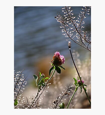 Last of the Clover Photographic Print