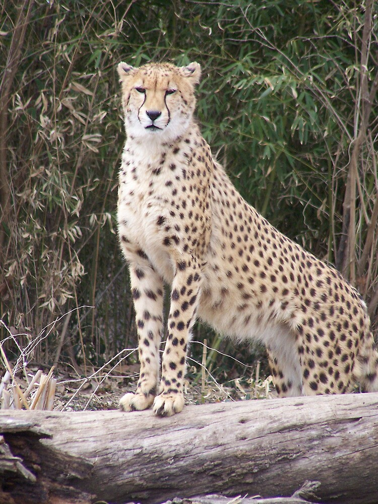 Cheetah IV- What You Did There, I See It. by Unconventional