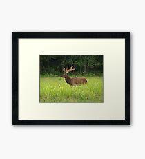 Bull Elk in Velvet Framed Print