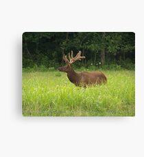 Bull Elk in Velvet Canvas Print