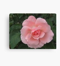 A Perfect Pink Rose. Canvas Print