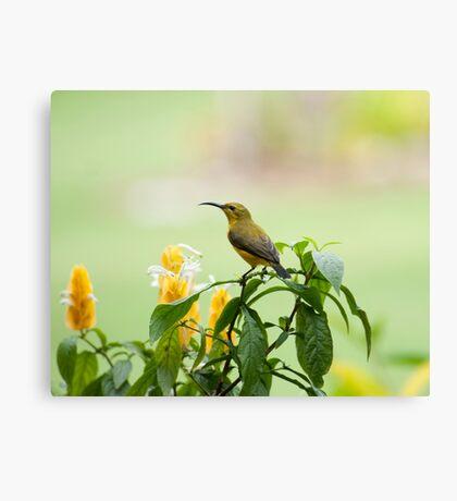 Mellow Yellow - sunbird Canvas Print