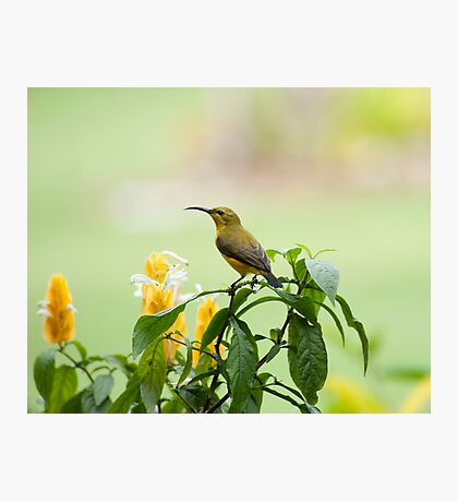 Mellow Yellow - sunbird Photographic Print