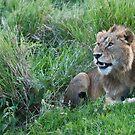 Lion in Tanzania by Raymond J Barlow