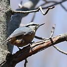 Red-Breasted Nuthatch -Sitta canadensis by Tracy Wazny
