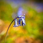 bluebell by gazbart