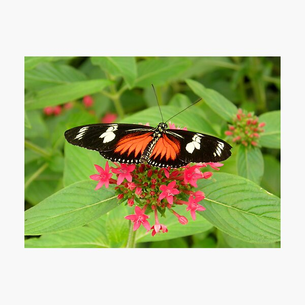 Butterfly (Doris Longwing ) Photographic Print