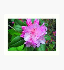 Rhododendron Bloom Art Print