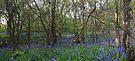Bluebell Wood by Nigel Bangert