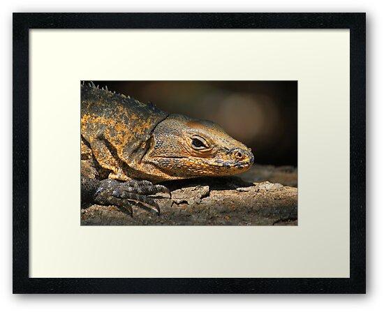 Iguana reptile by jtminde
