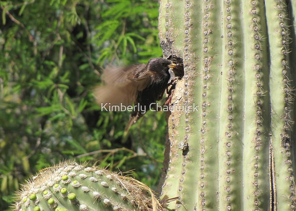 European Starling ~ Parent feeding by Kimberly Chadwick