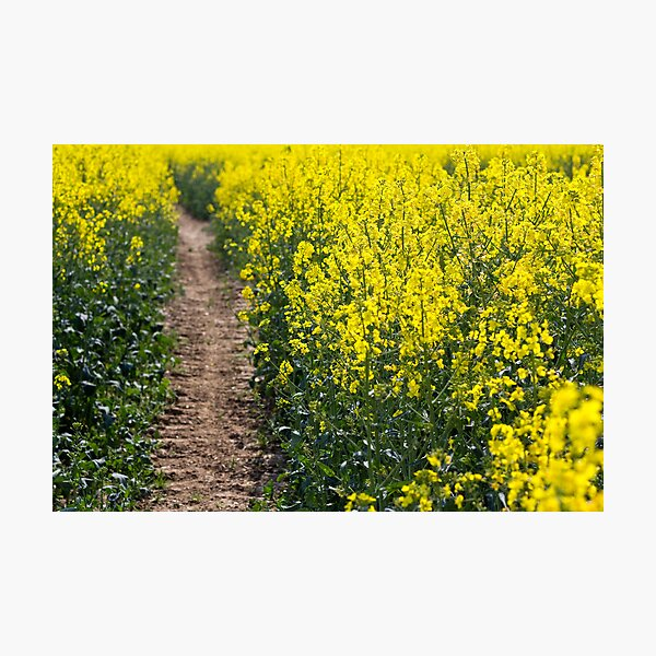 Path in a Rapeseed Field Photographic Print