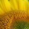 Yellow Flowers Macro